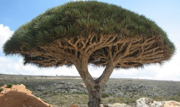 Dragon Tree!